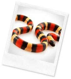RANA_snake